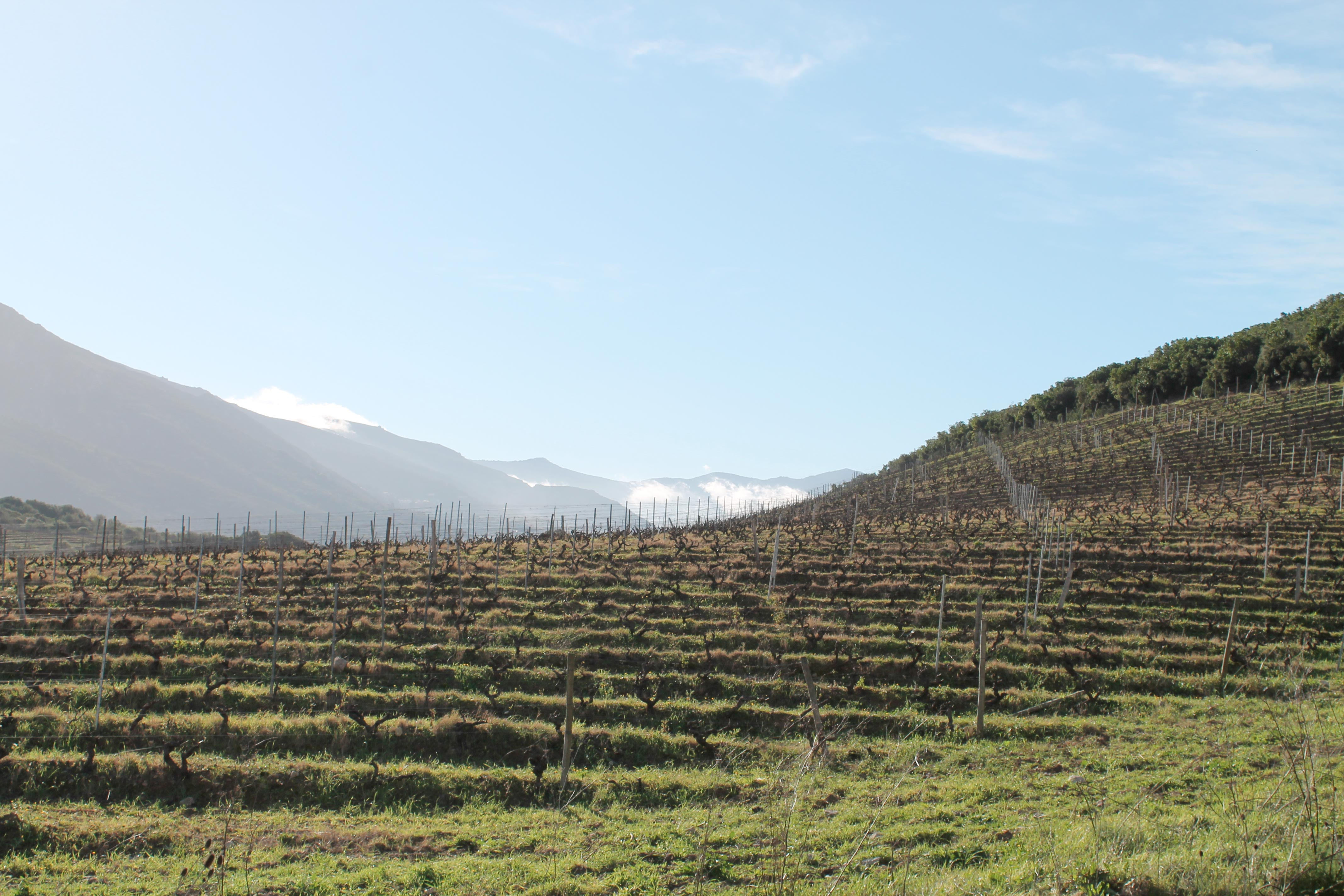 Corsica wine tour, vineyard with mountain background