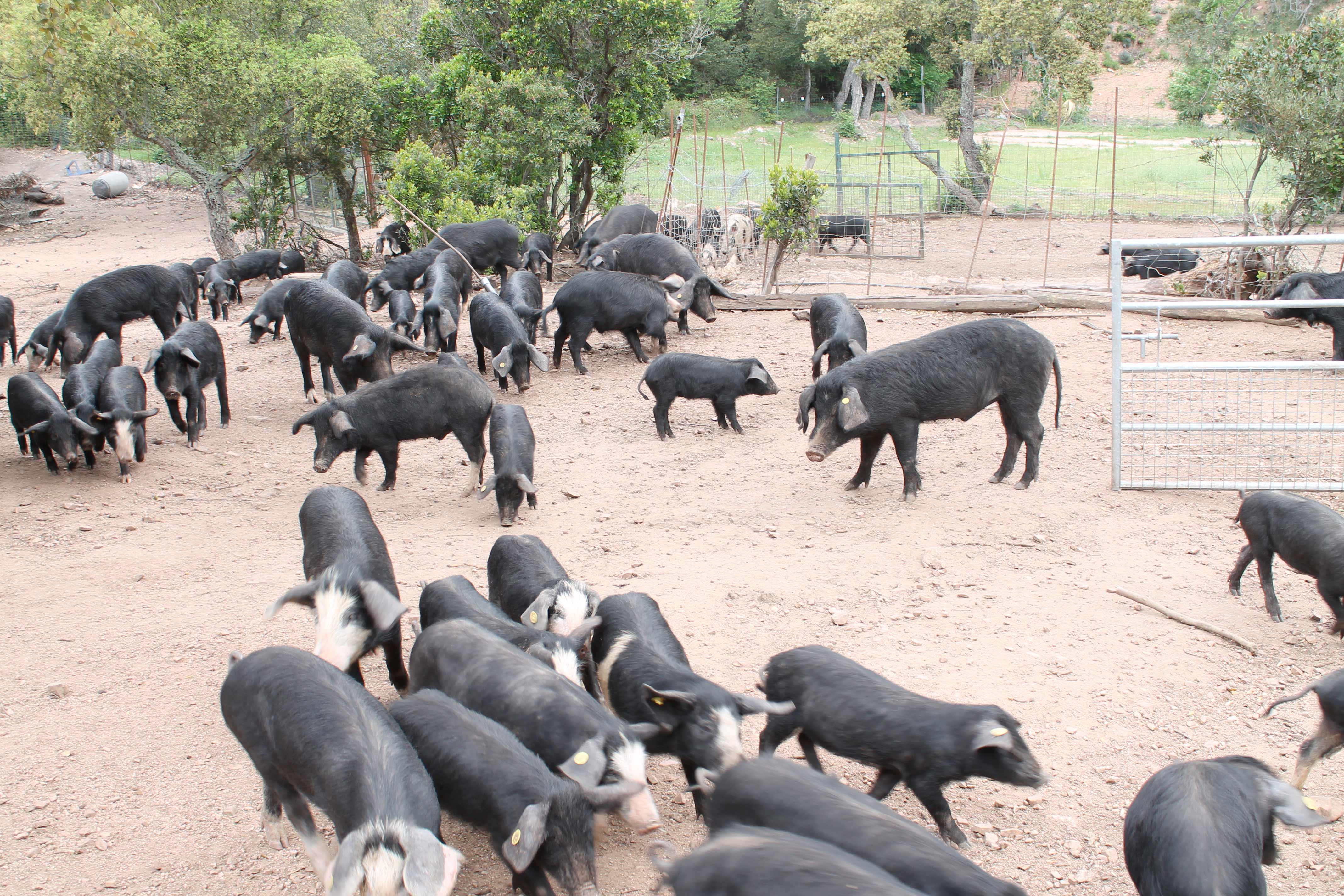 Corsica wine tour, pigs in a farm