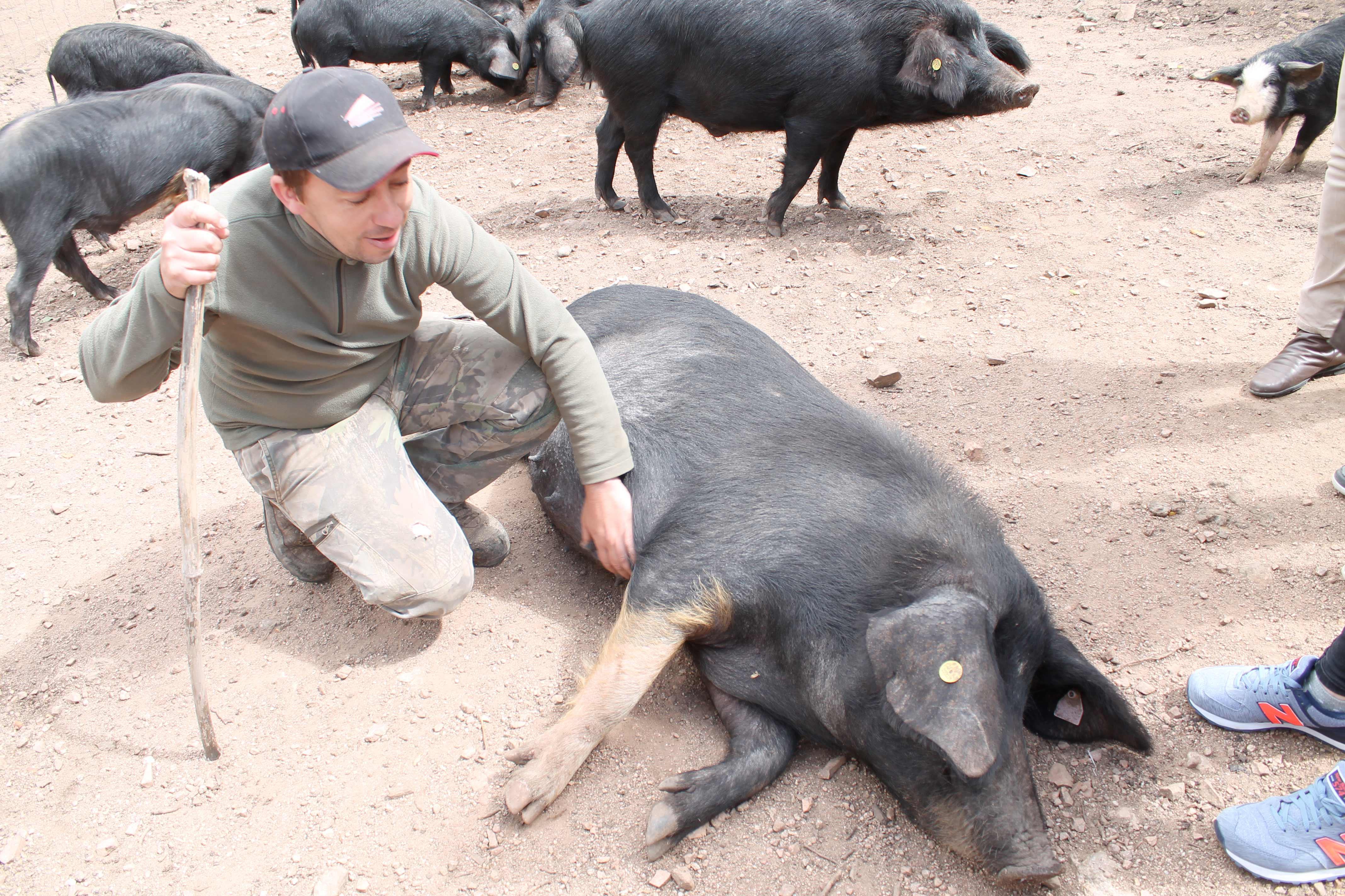 Corsica wine tour, herdsmen with pigs