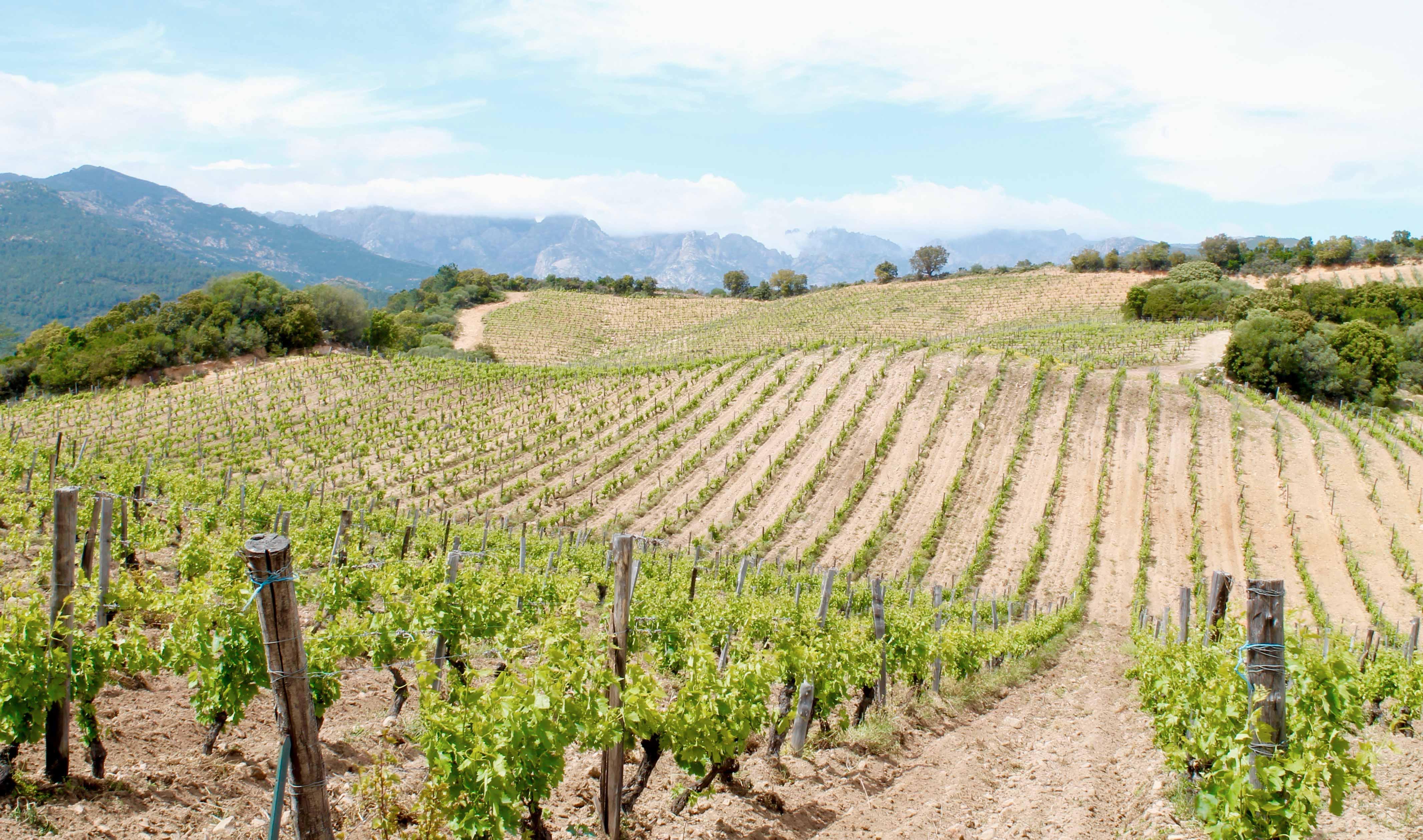 Corsica wine tour, vineyard
