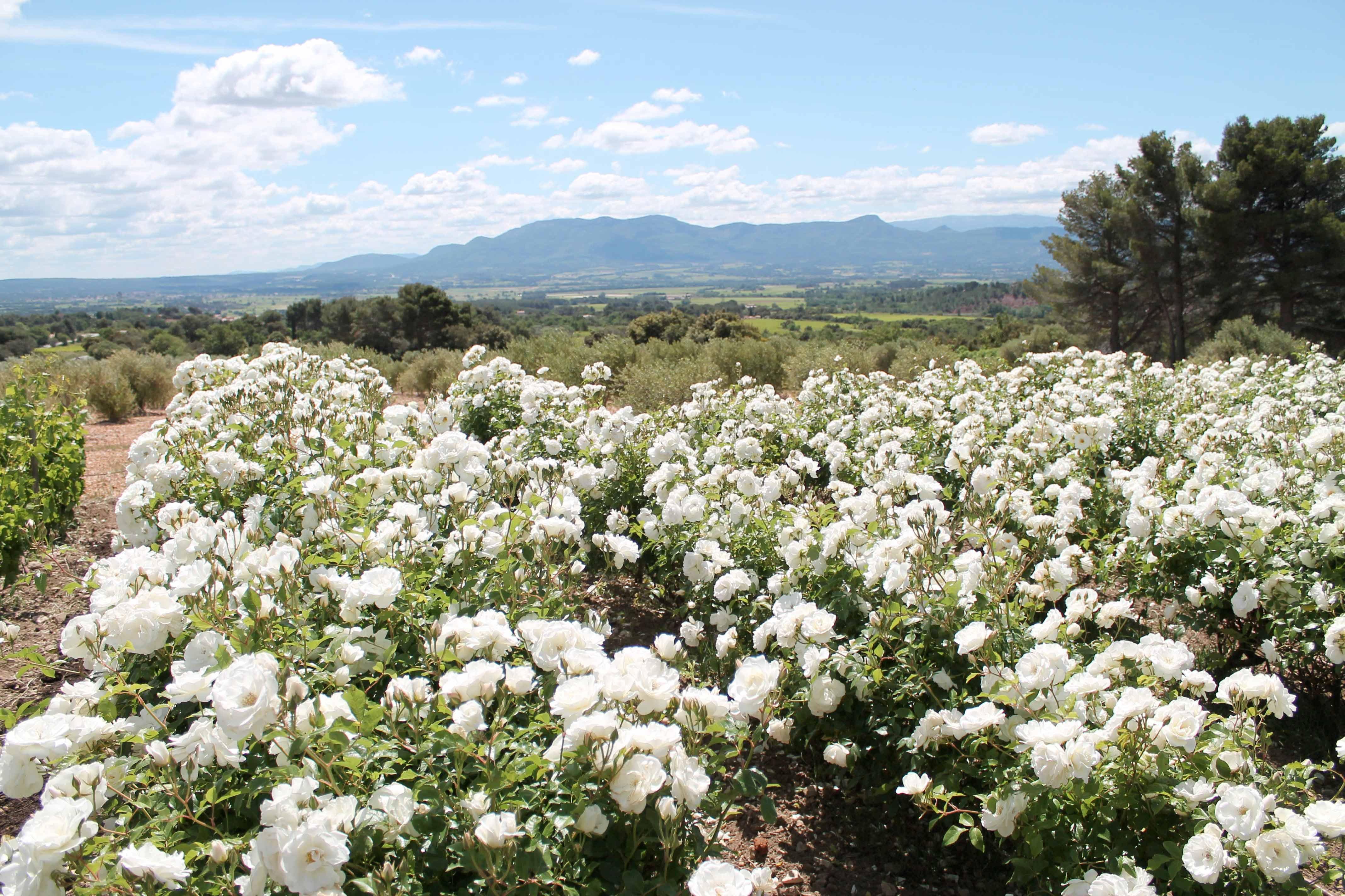 Aix en Provence wine tour, Sainte Victoire vineyard