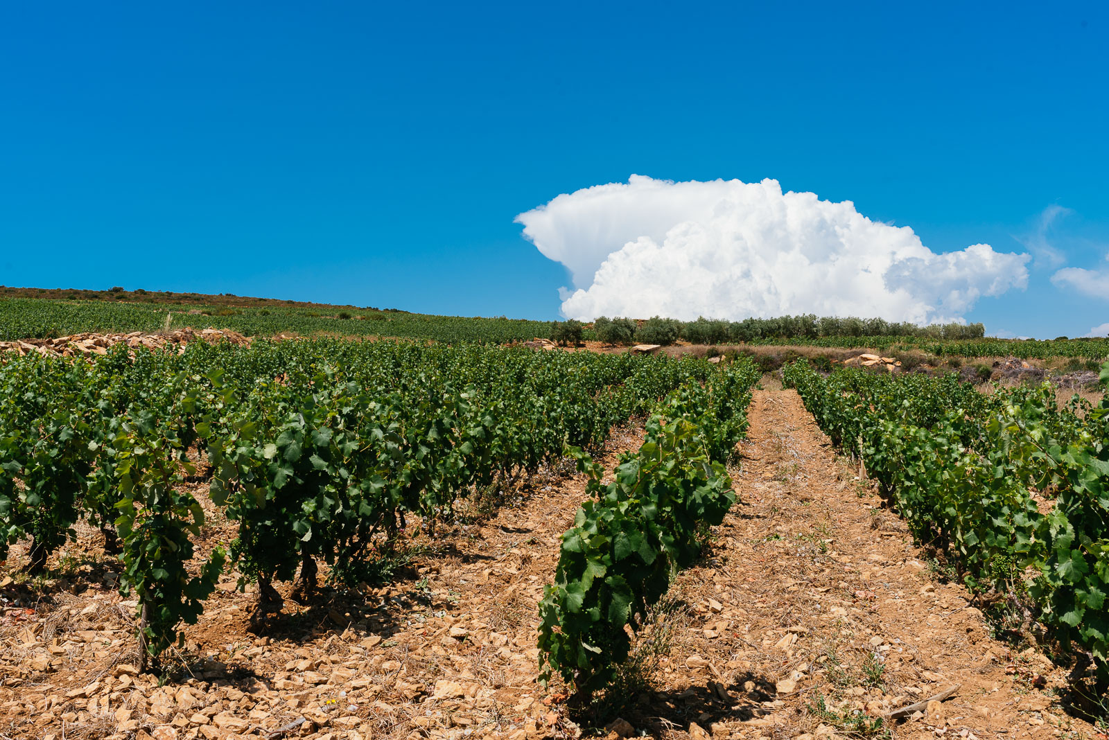Bandol and Cassis wine tour, Bandol vineyard