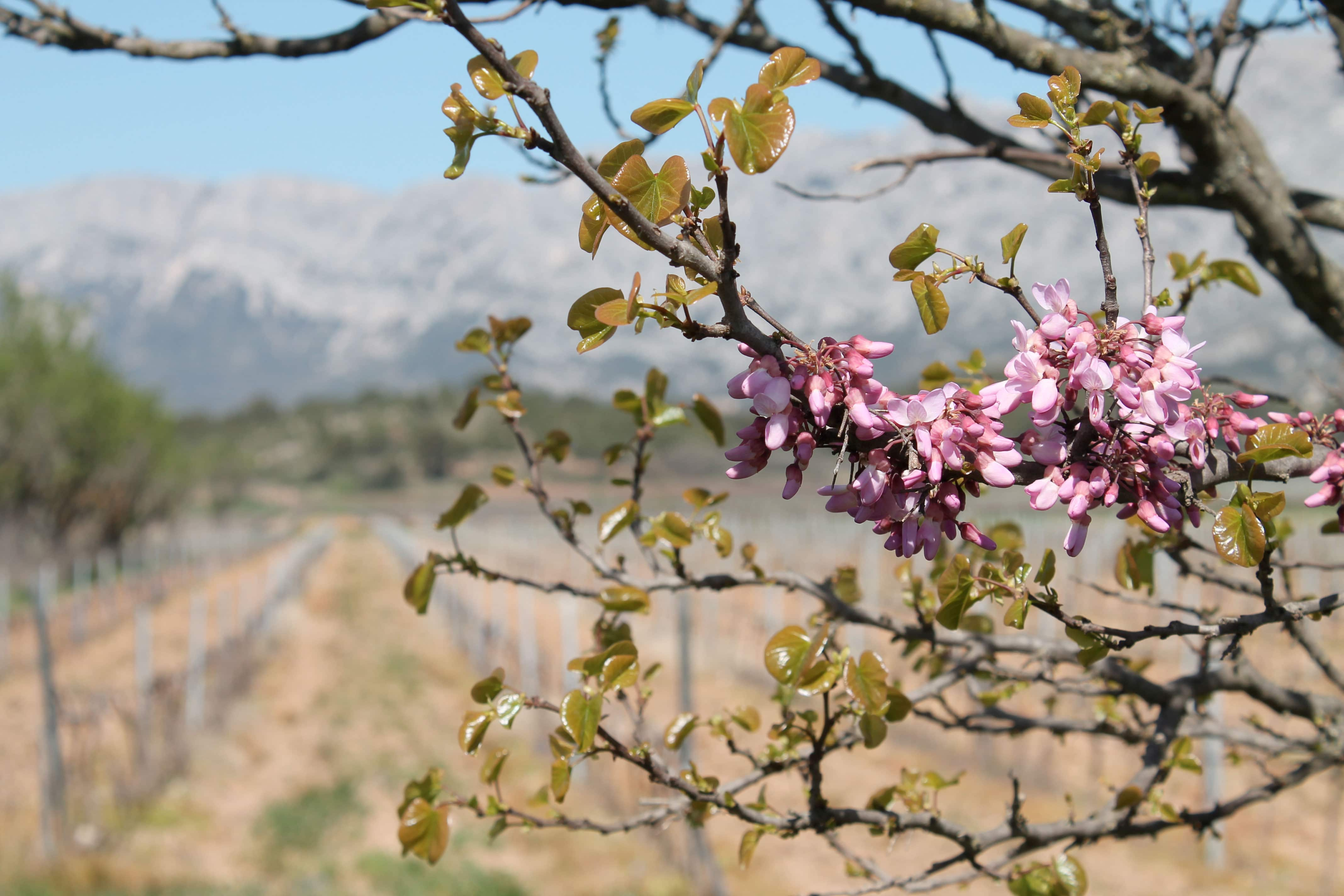 Aix en Provence wine tour, blooming peachtree