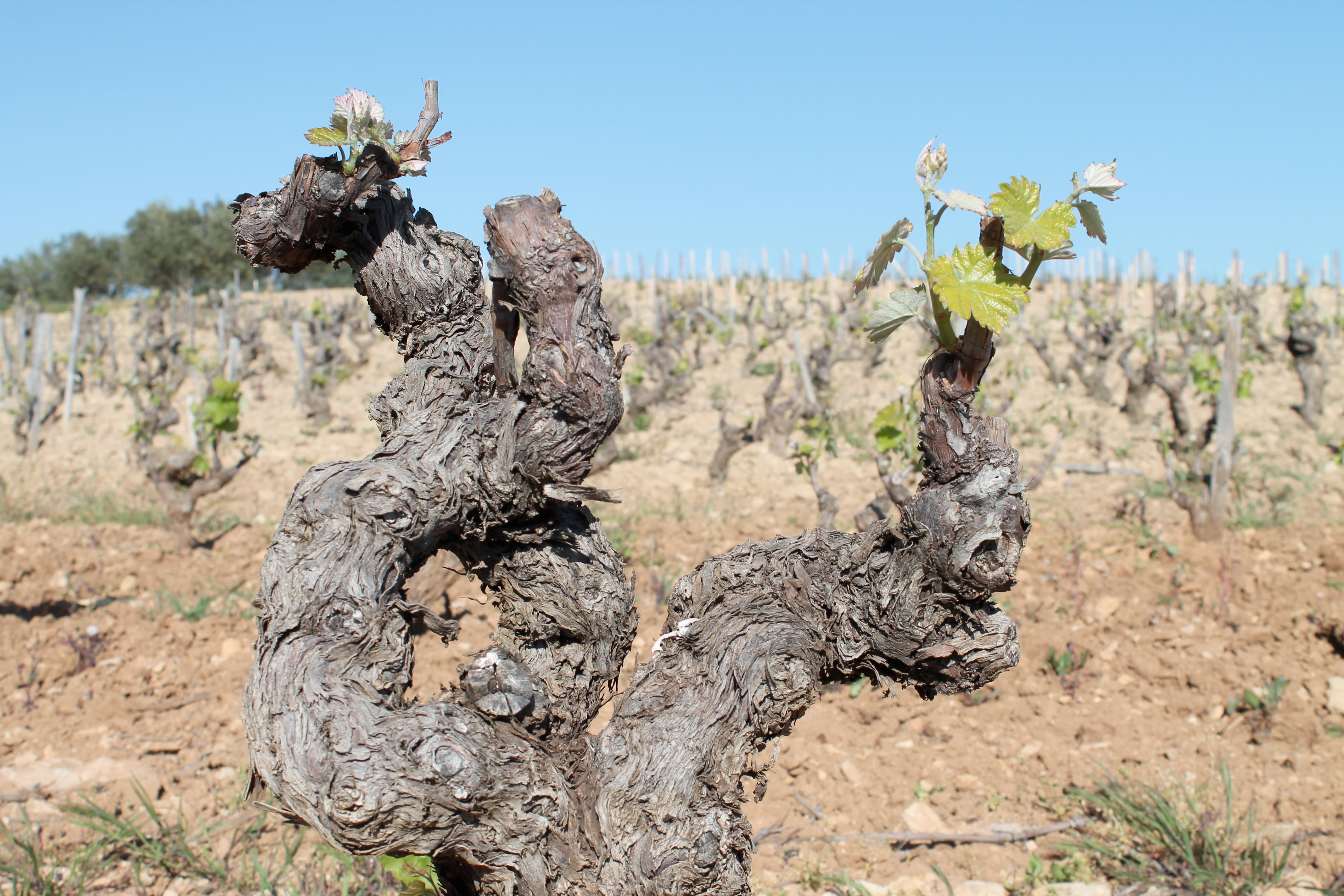 Bandol and Cassis wine tour, vine starting to bloom