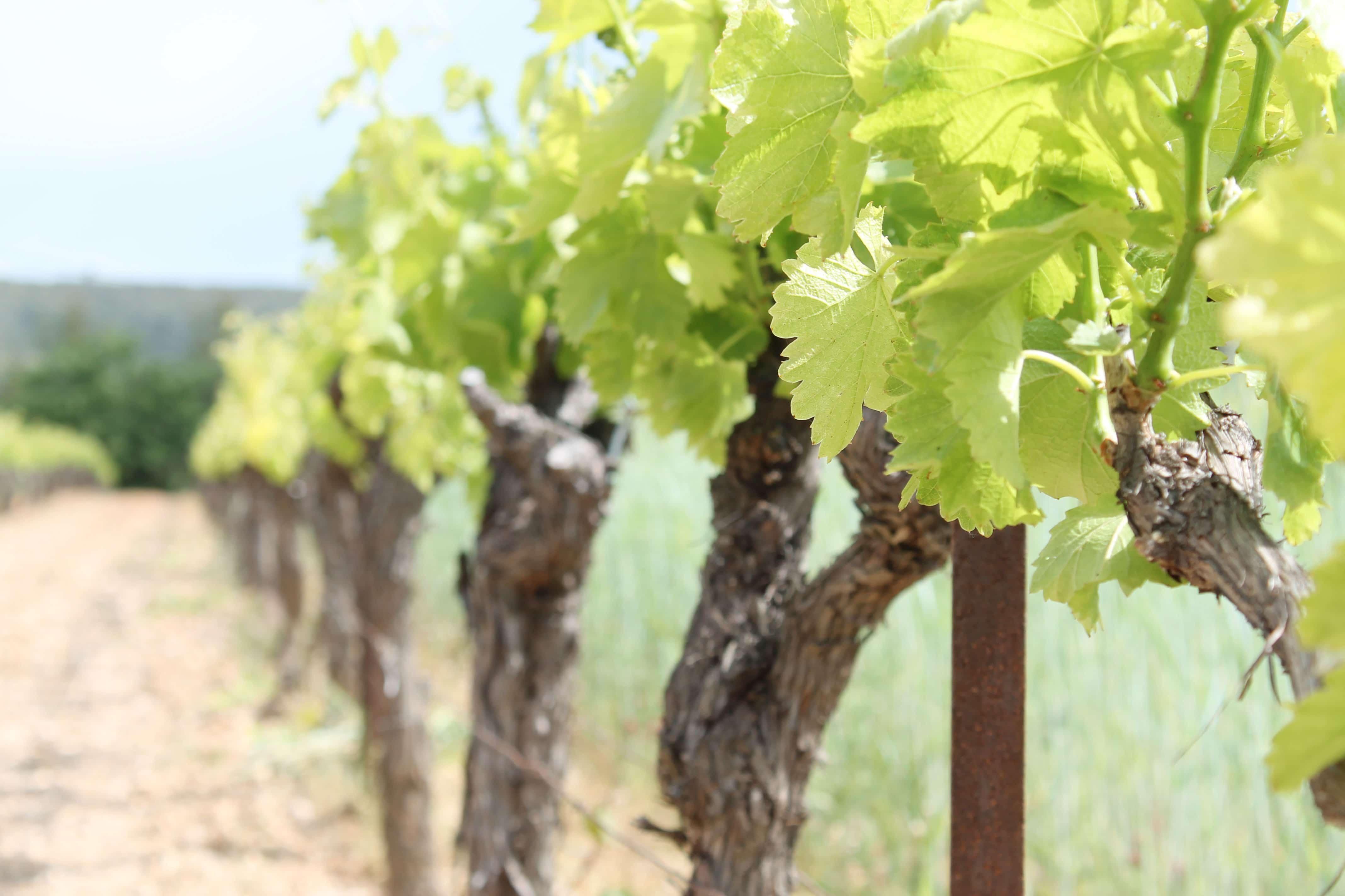 Aix en Provence wine tour, vines