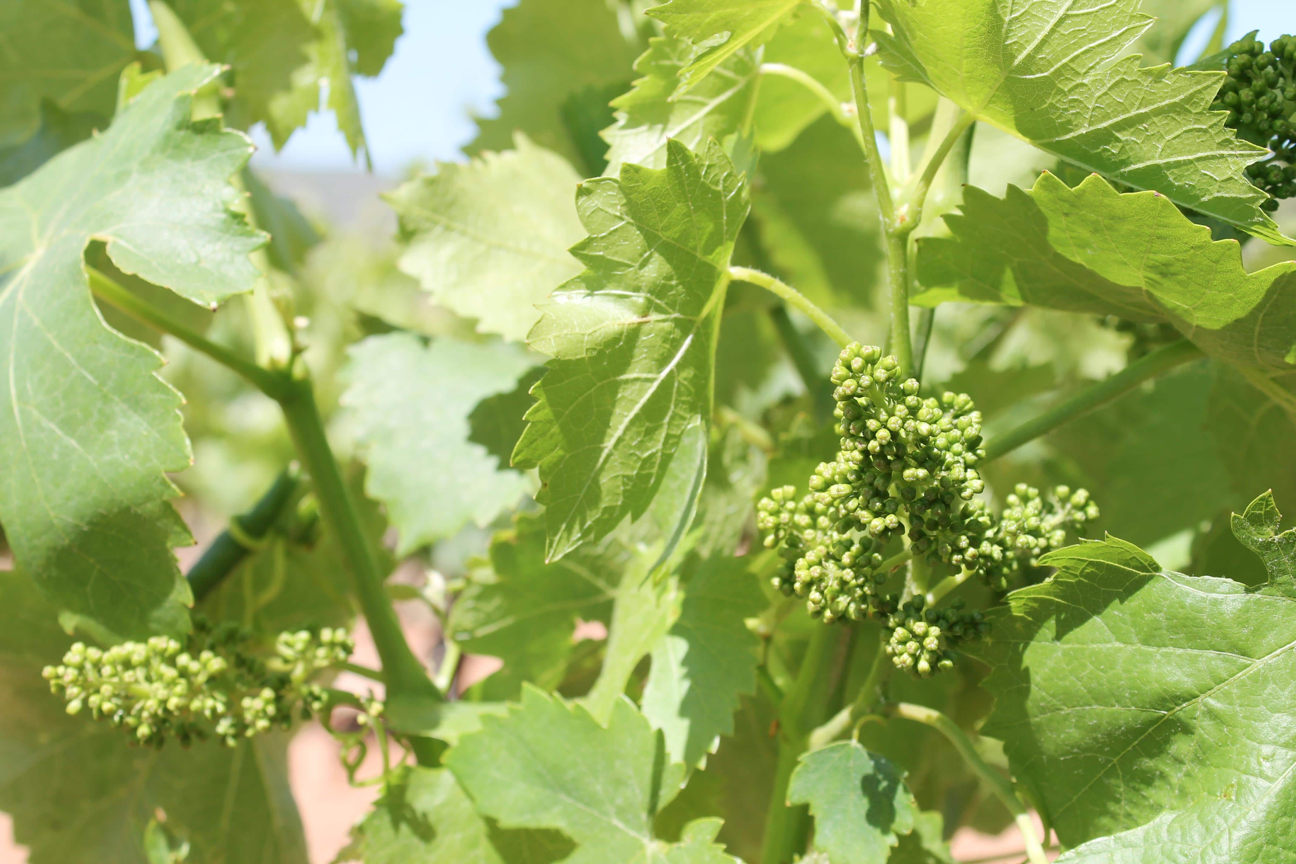Aix en Provence wine tour, vine blooming