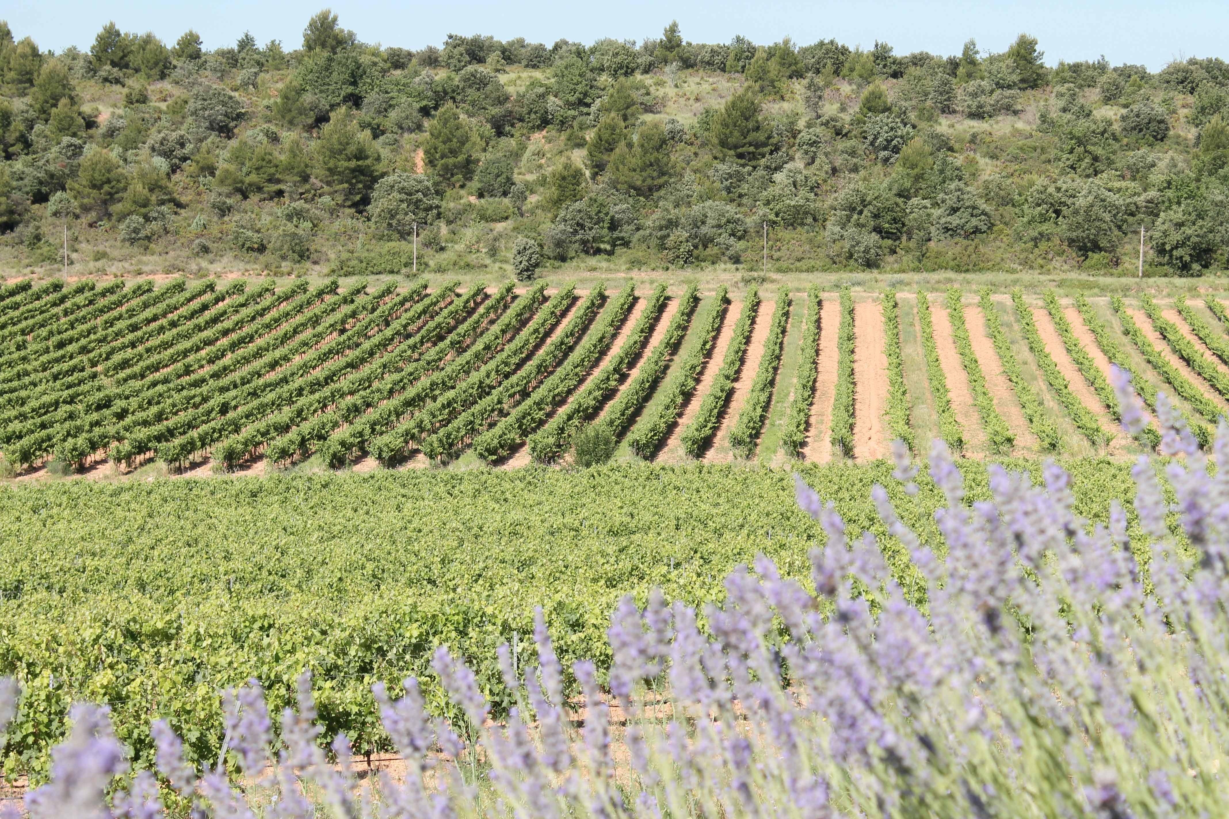 Aix en Provence wine tour, lavender near vineyard