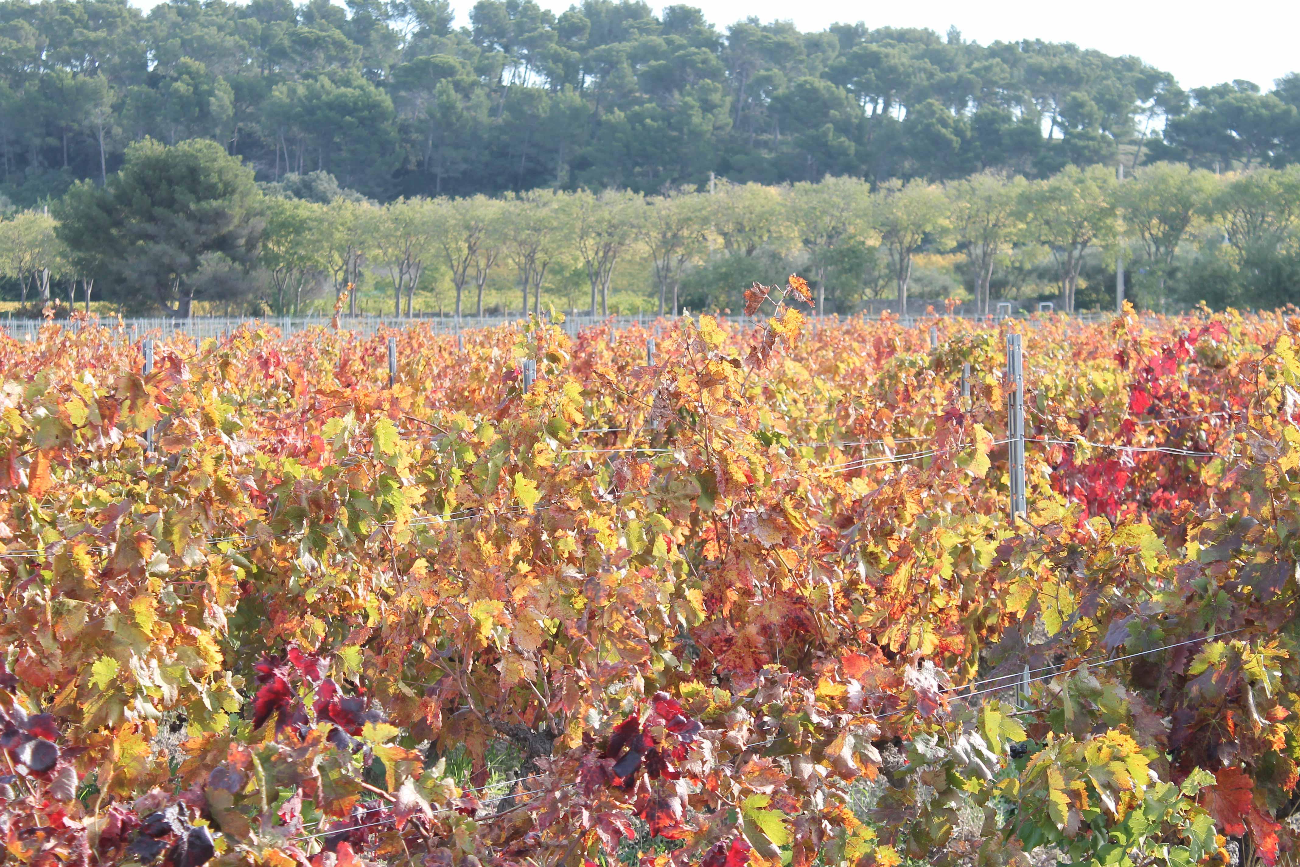 Bandol and Cassis wine tour, vineyard
