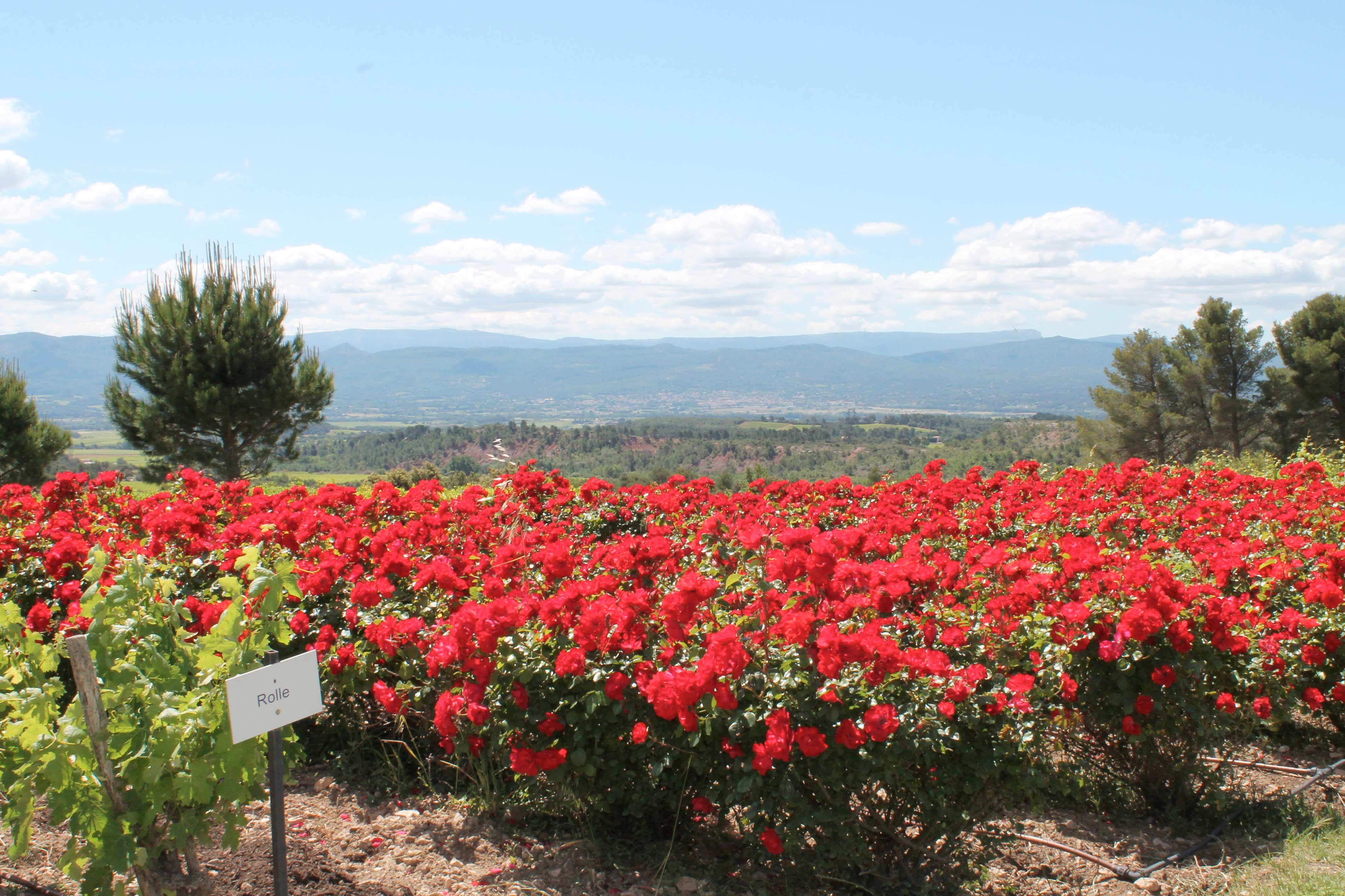 Aix en Provence wine tour, flowers near vineyard