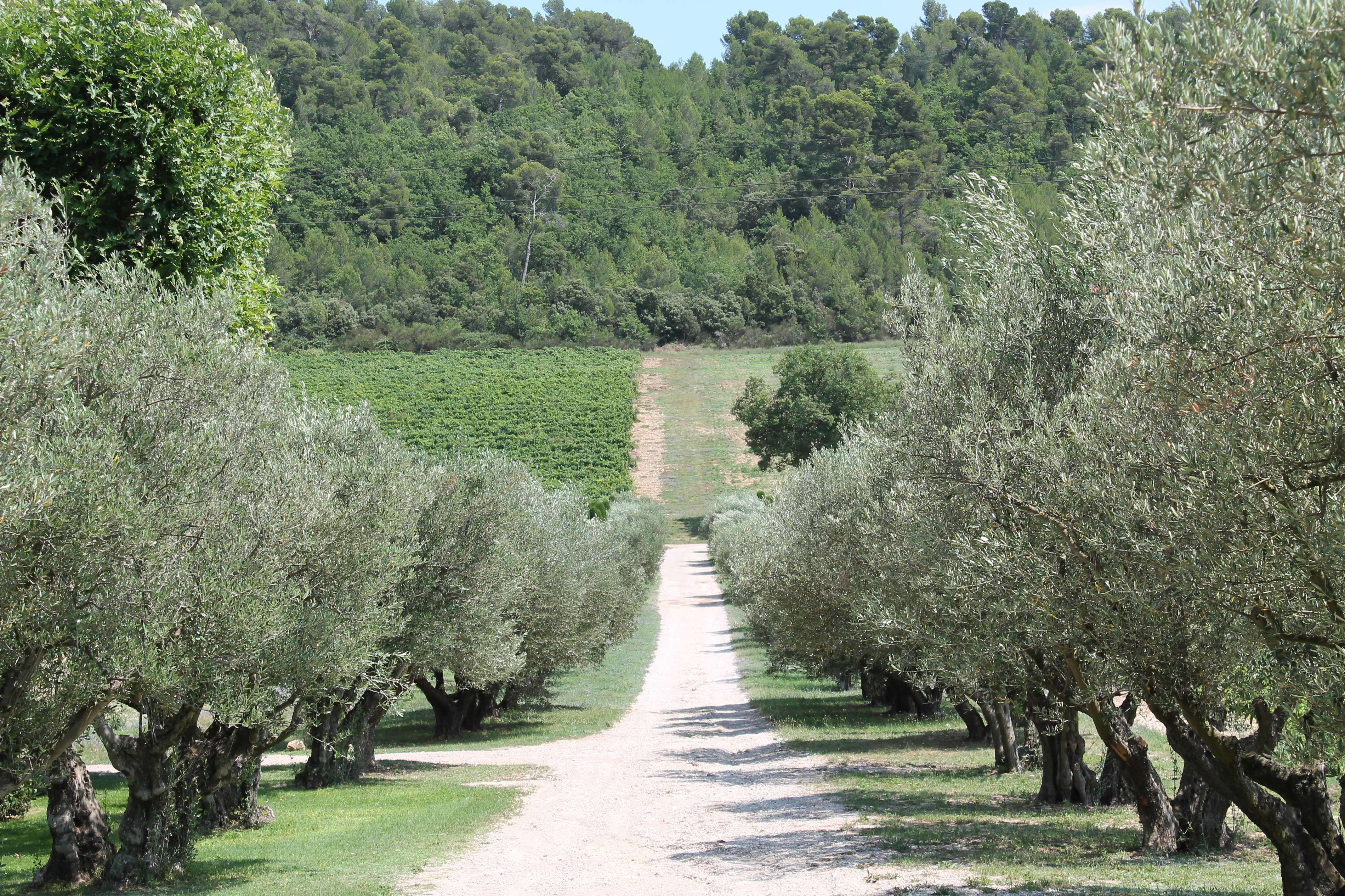 Châteauneuf du Pape wine tour, olive grove