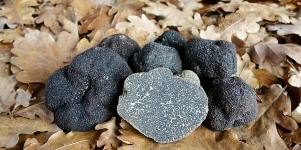 Wine and truffle tour, black truffle close up