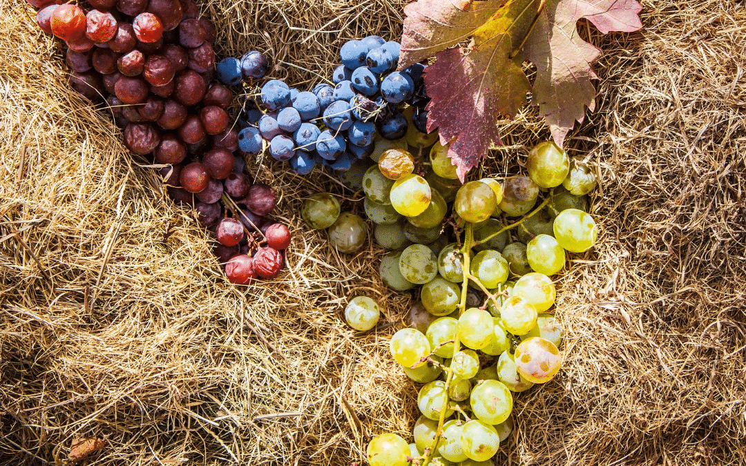 the differents grapes varieties